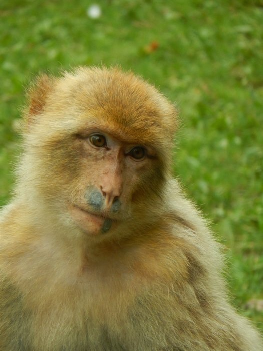 yellow Monkey in Zoo