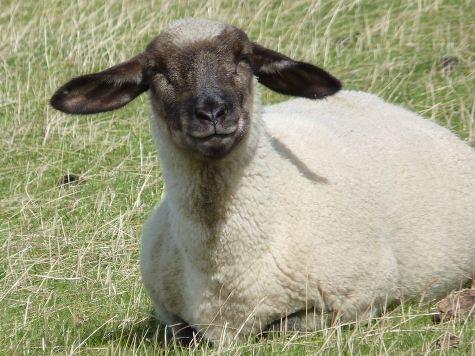 Sheep or Ovis aries
