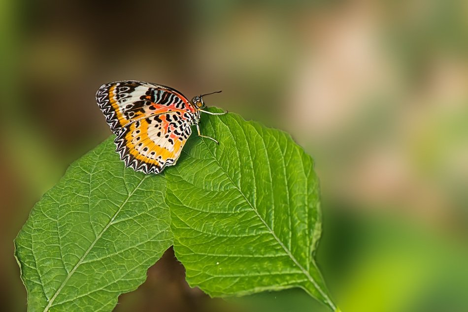 butterfly cethosia on a green leaf