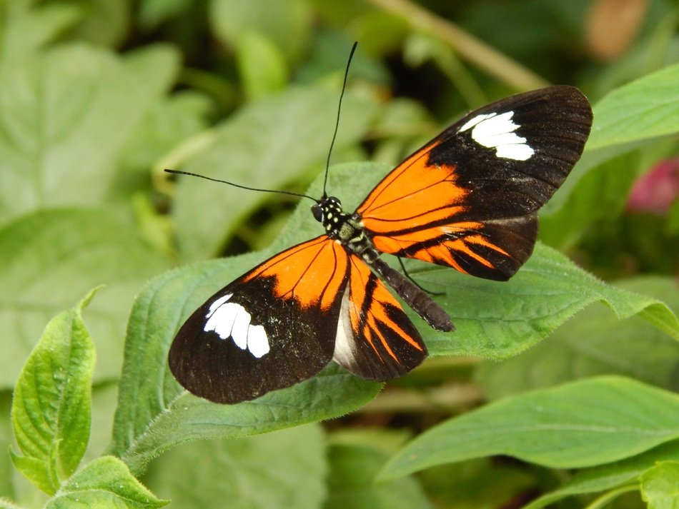orange black butterfly with white spots