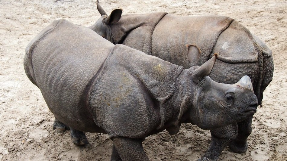 a rhino couple in the animal world