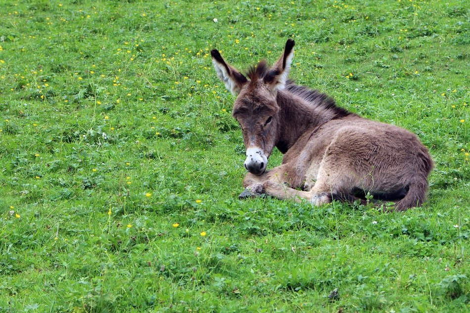 donkey foal on green grass