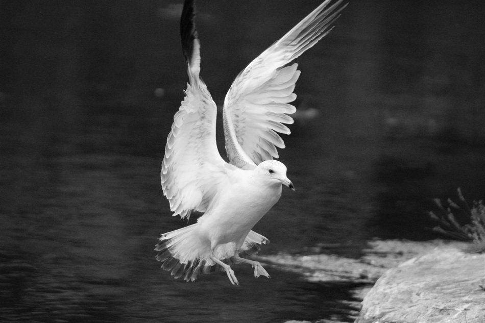flying white seagull in black and white