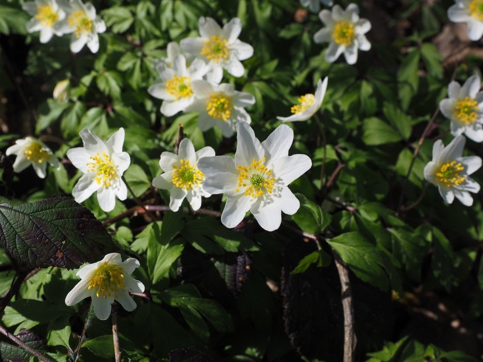 charming wood anemone blossoms