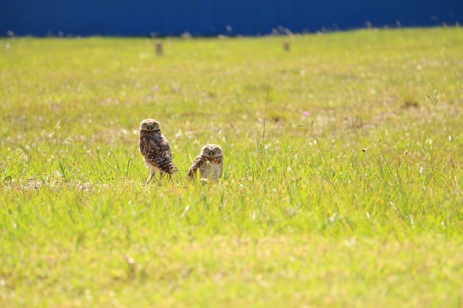 two owls in the meadow