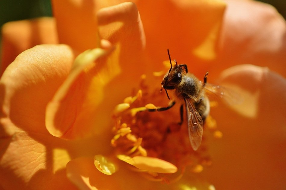 closeup of a bee on the orange flower