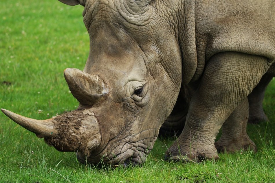 Rhino grazing on lawn, Horn close up