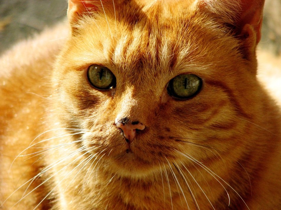 ginger domestic cat with green eyes close up