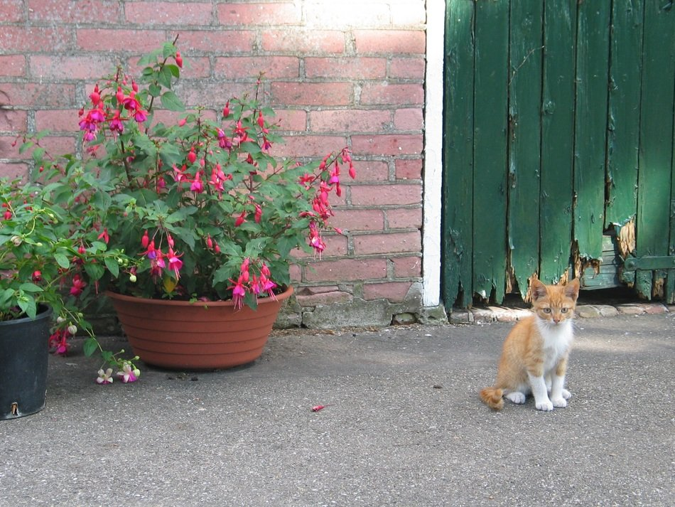 small young red cat