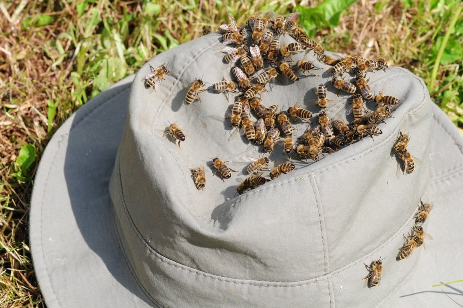 bees on a gray hat