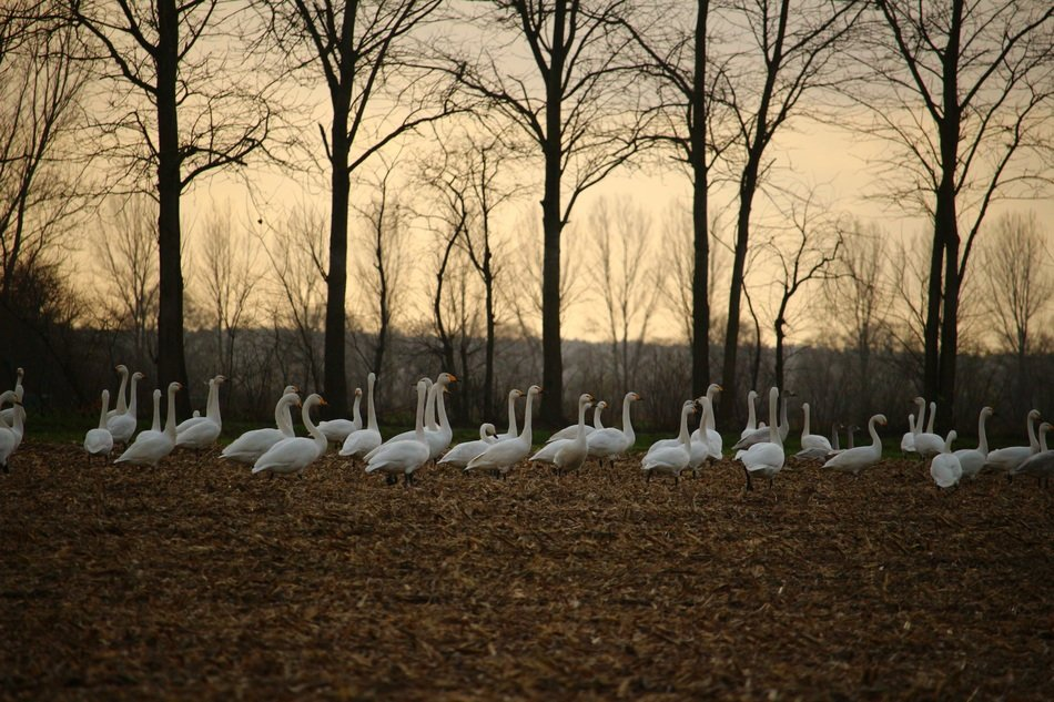 a flock of whooper swans on the autumn meadow