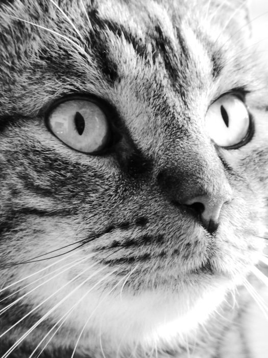 Black and white photo of Cat face