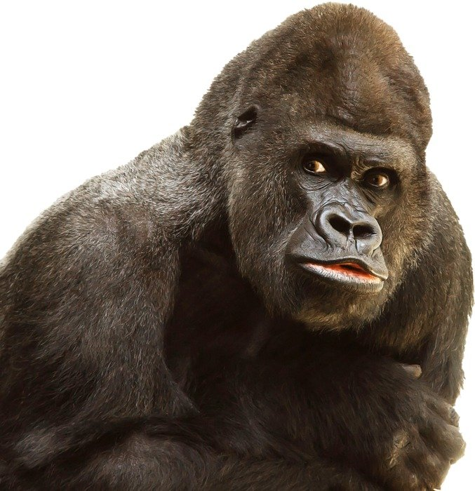 photo portrait of a gorilla on a white background