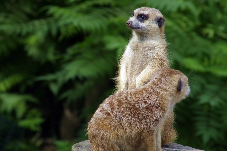 two meerkats in the zoological garden