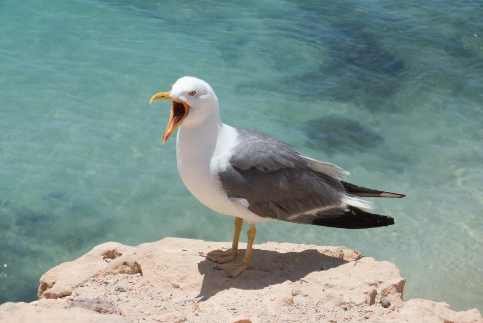 Seagull with wide open beak on stone