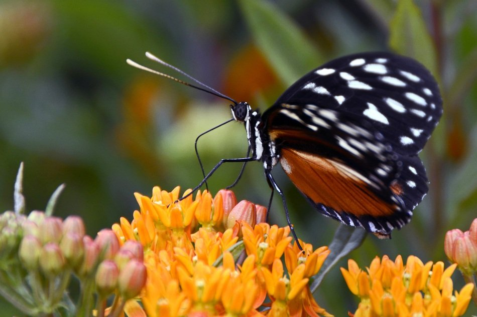 Butterfly with black wing on flowers close