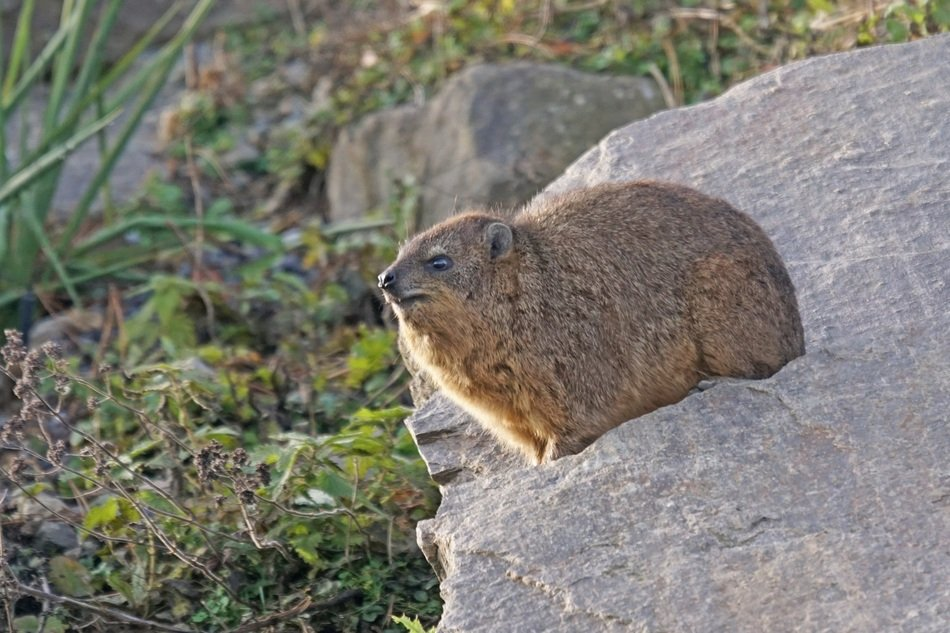deliciously beautiful Animals Hyraxes