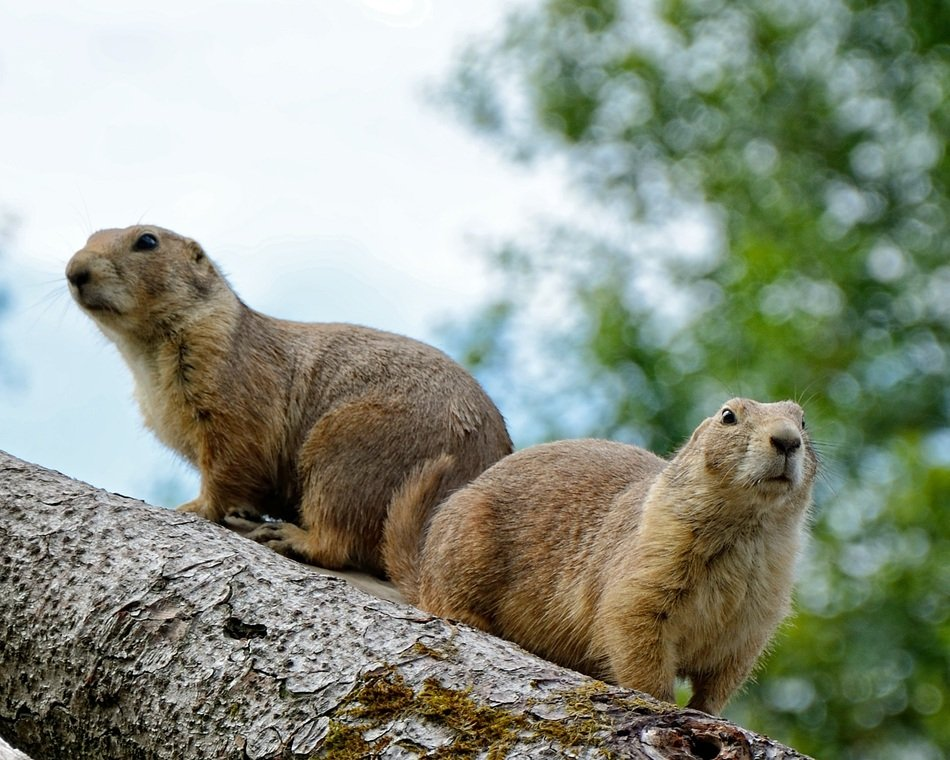 couple of marmots in the forest