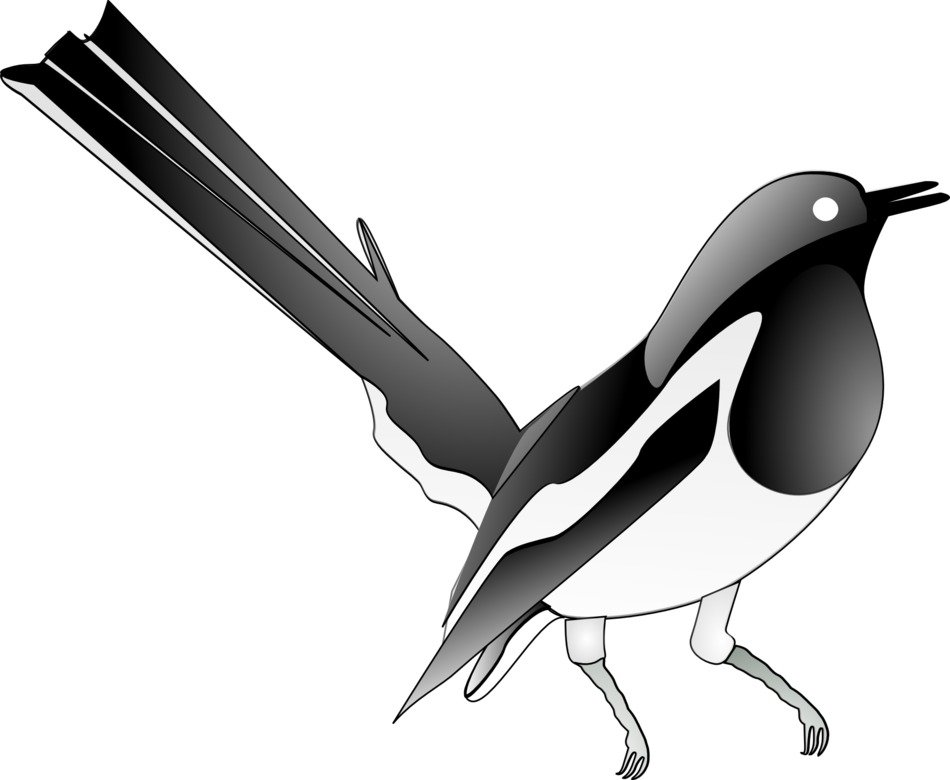 Magpie Songbird drawing