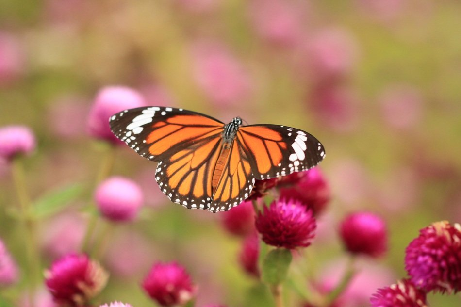 cute Butterfly Monarch