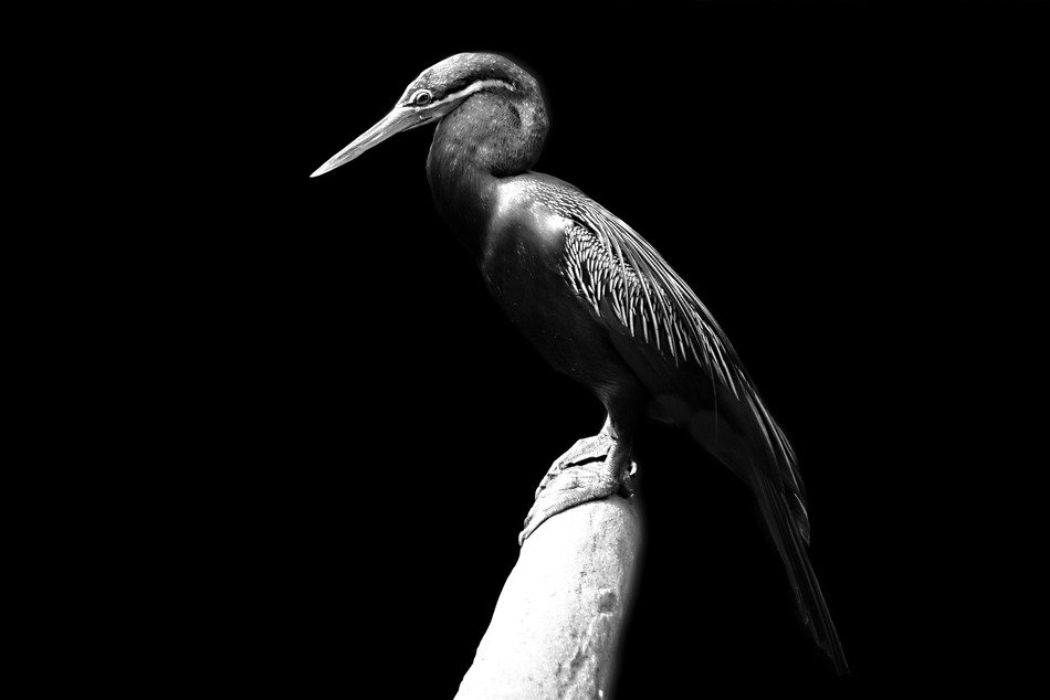 Black and white photo of African darter