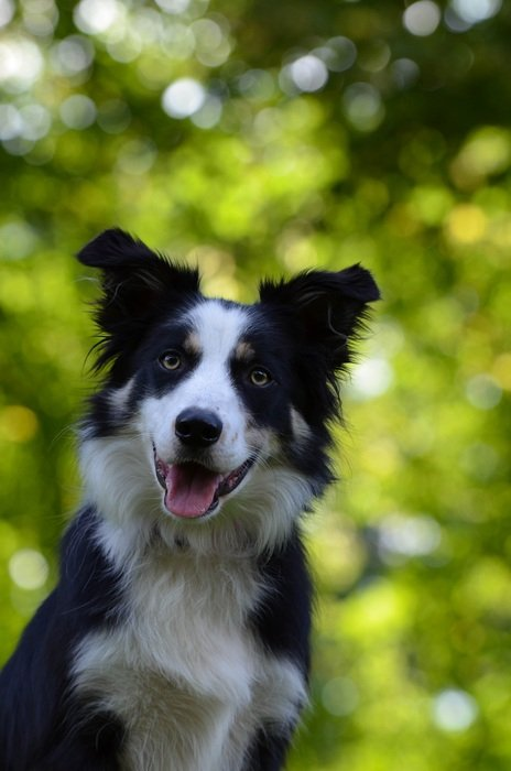 black and white collie this is a British shepherd