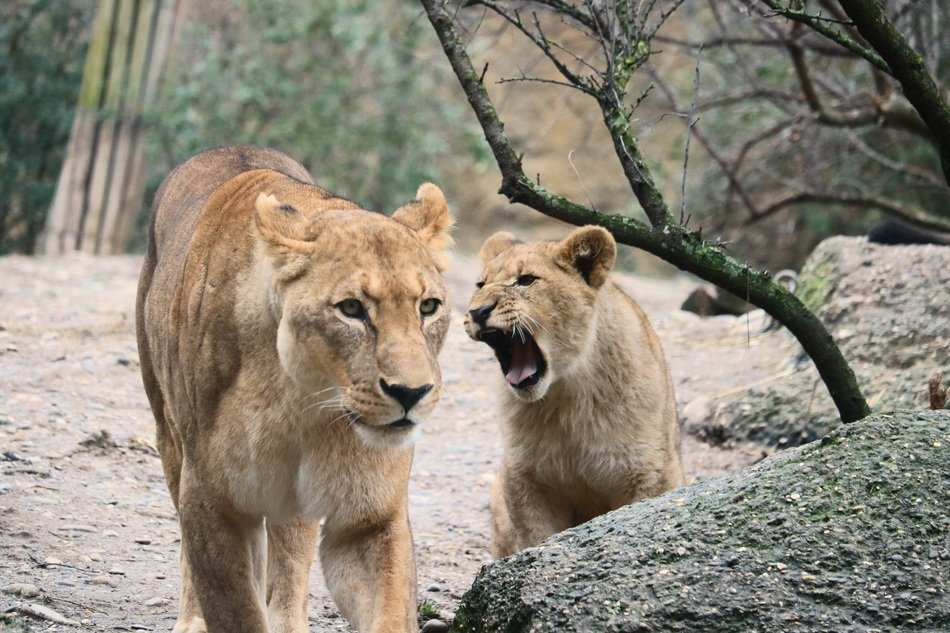 lionesses in the natural environment of africa