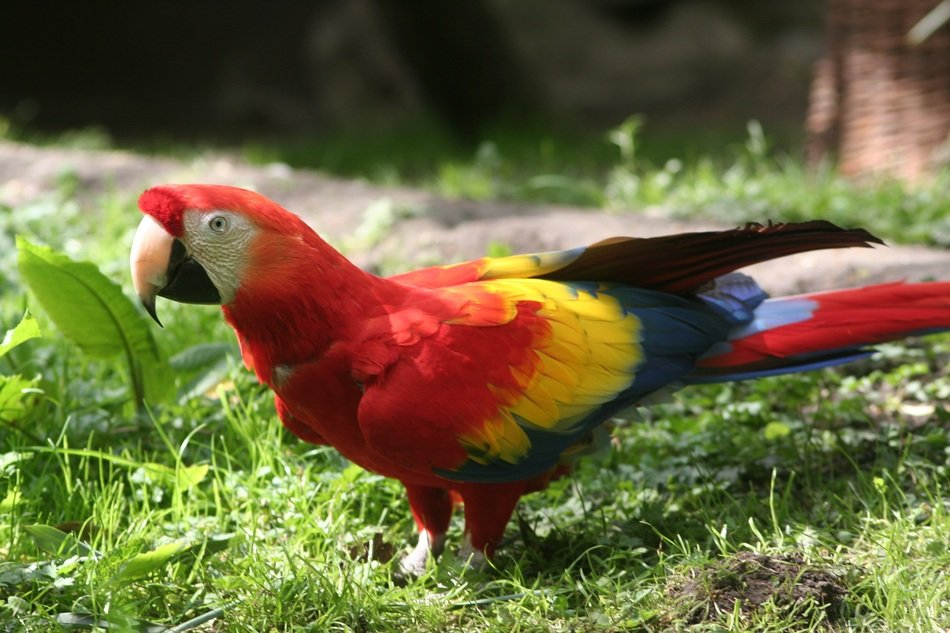 Colorful Parrot on green grass