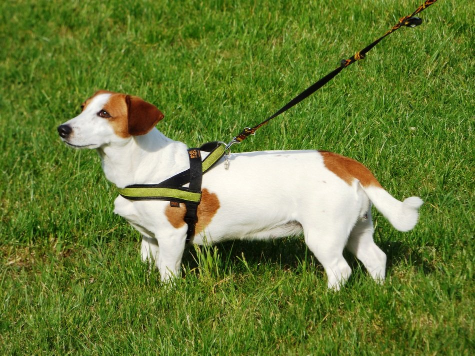 dog on a leash in a green meadow