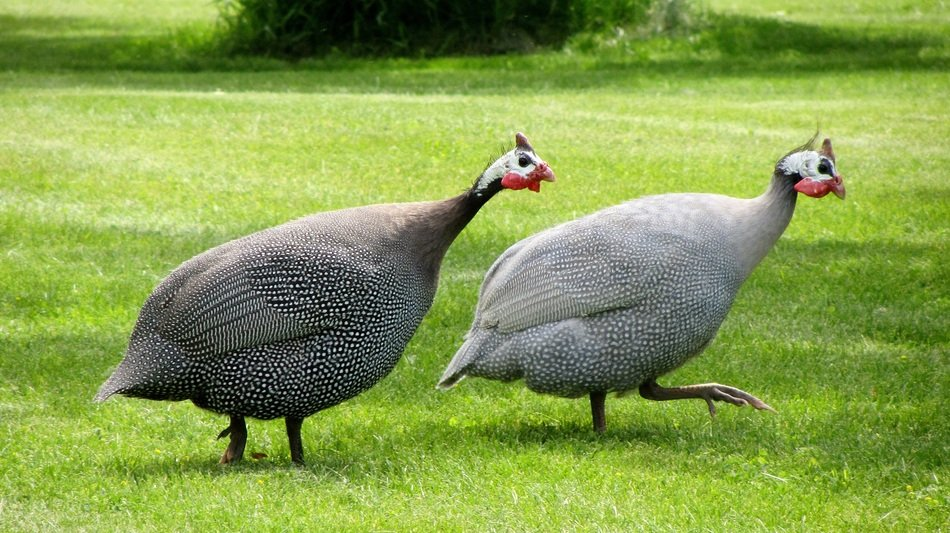Cute Guinea Fowls on the grass