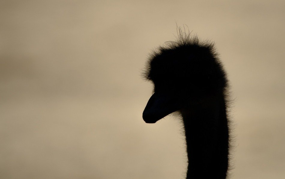 ostrich head silhouette at dusk