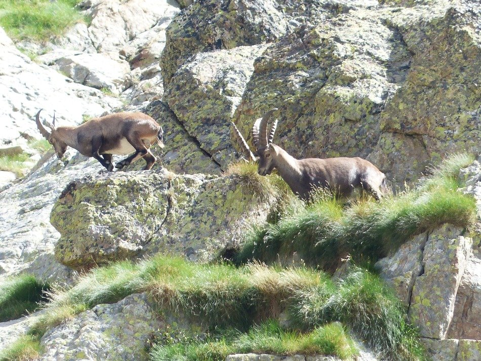 Alpine Ibex on the rocks