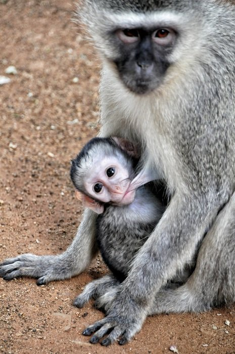 grivet monkey breastfeeding baby