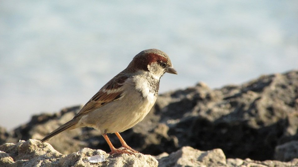 a sparrow stands on a rock in cyprus