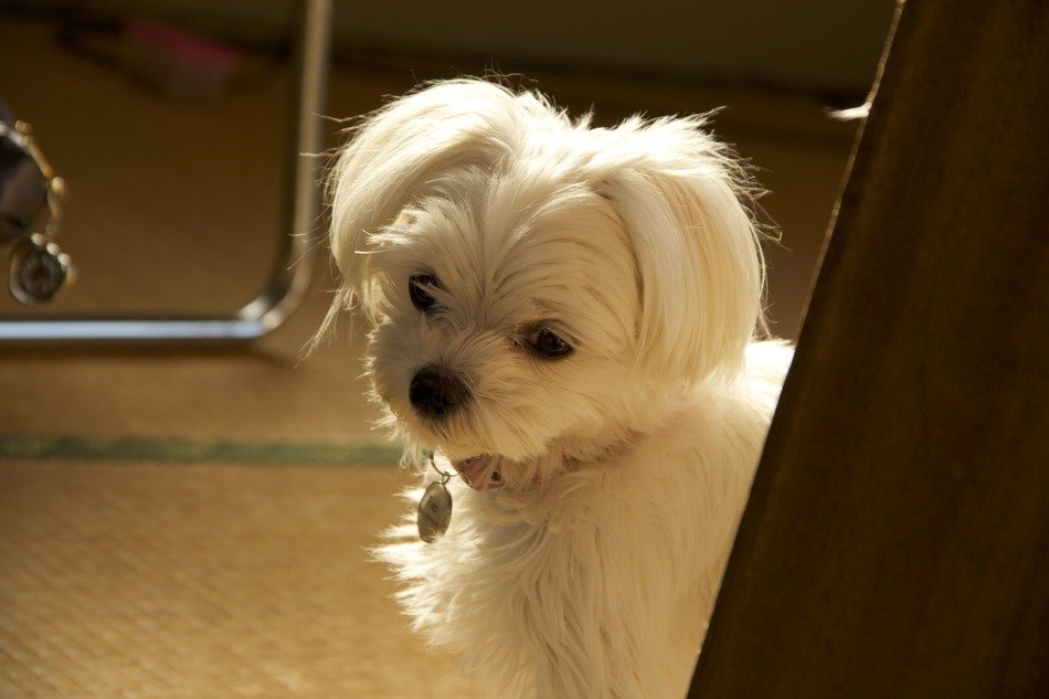 purebred cute white haired dog