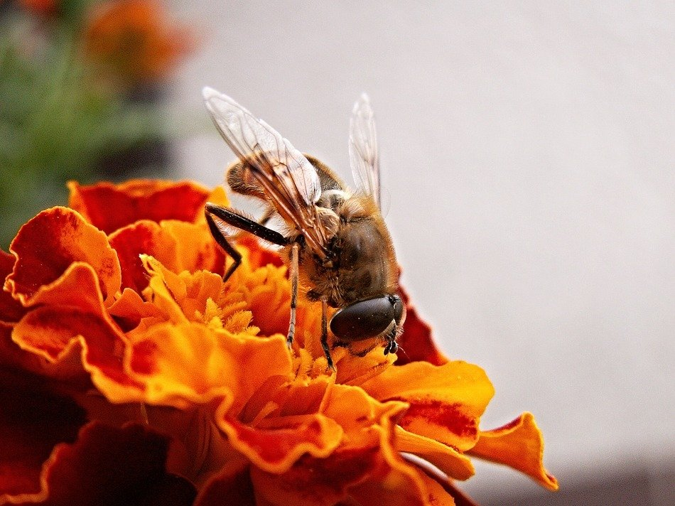 fly on marigold Flower