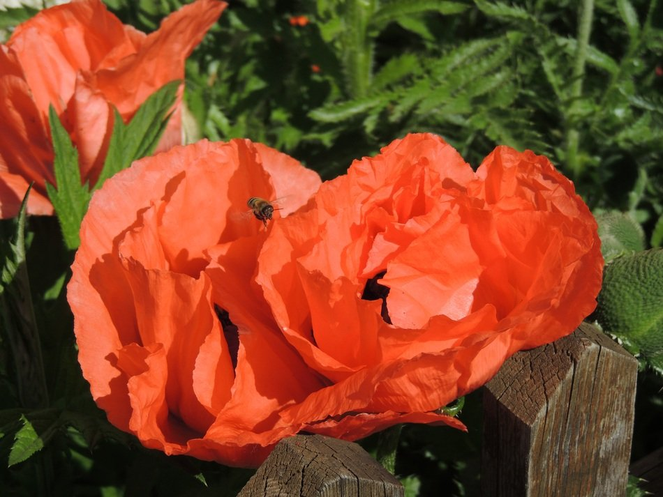 red poppies behind a wooden fence