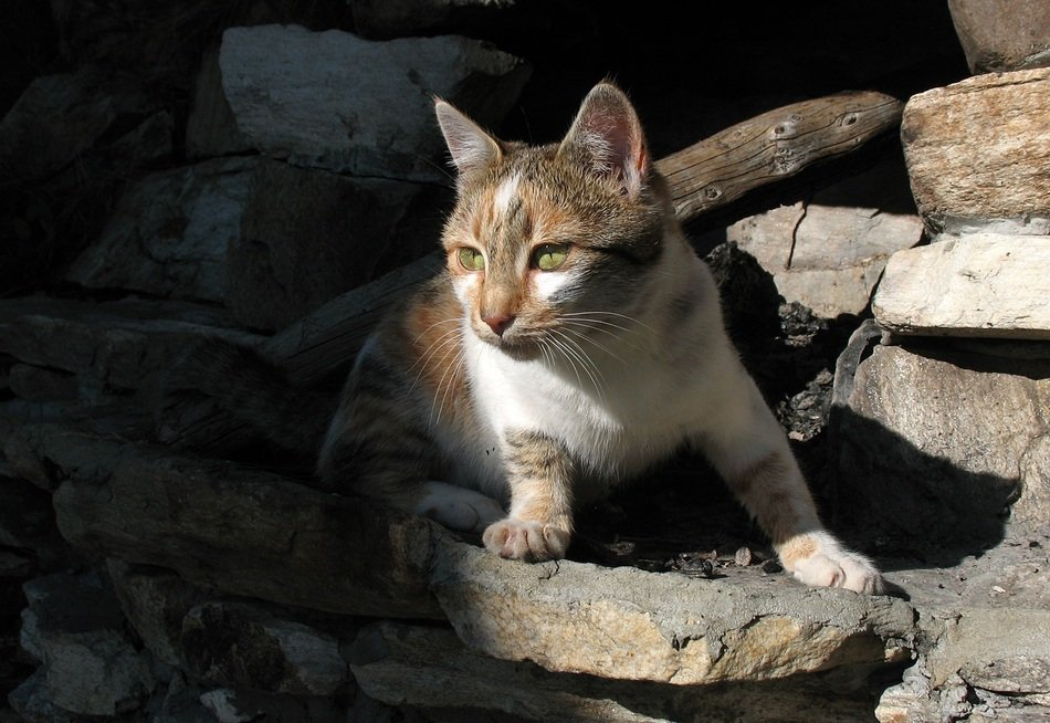 domestic cat stands on a stone