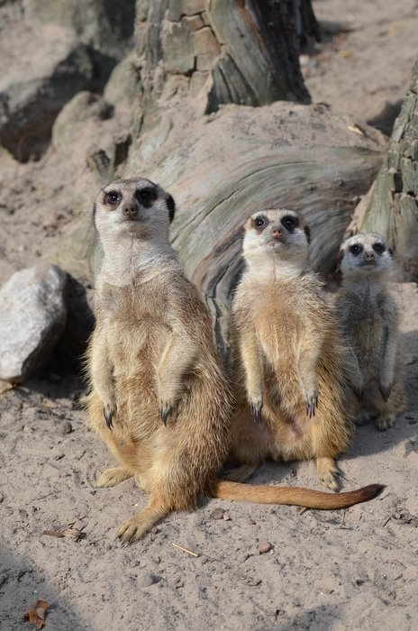 sweet meerkats in the zoo