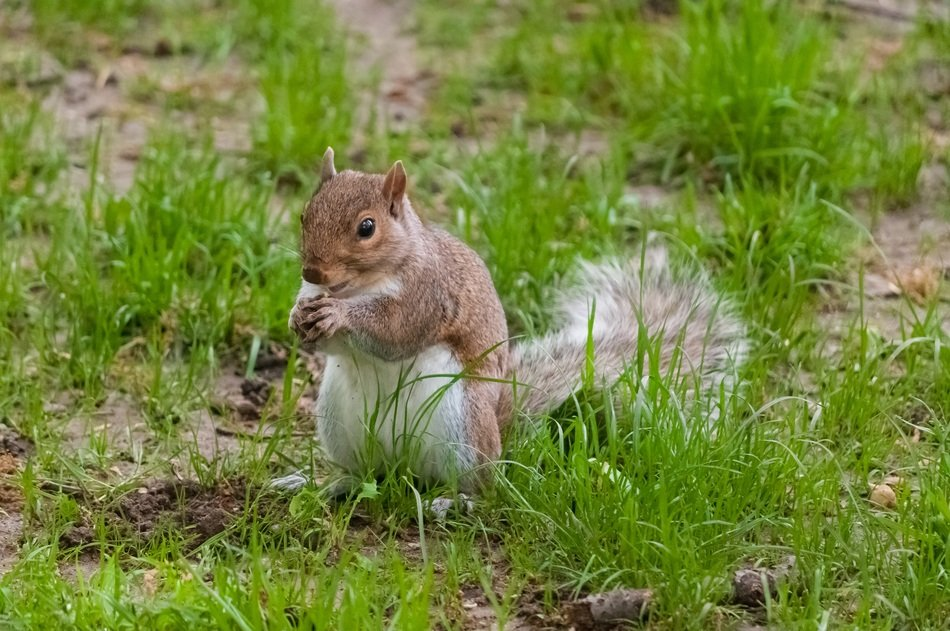Picture of Squirrel in nature