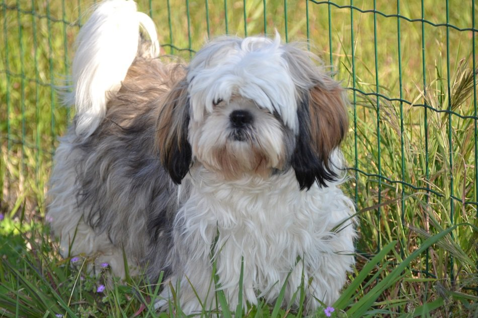 Dog breed 'shih tzu' in the grass