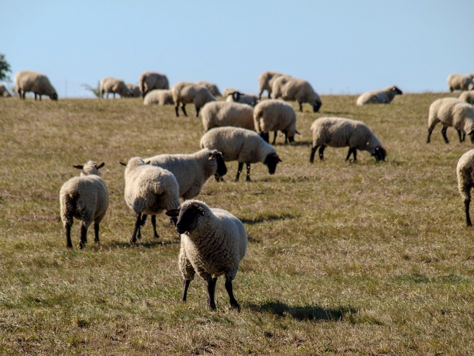 flock of sheep on a hilly pasture