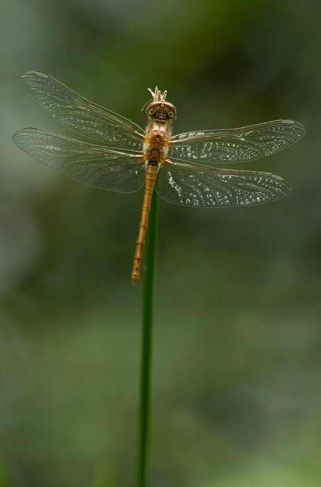 Detailed photo of Sympetrum Striolatum