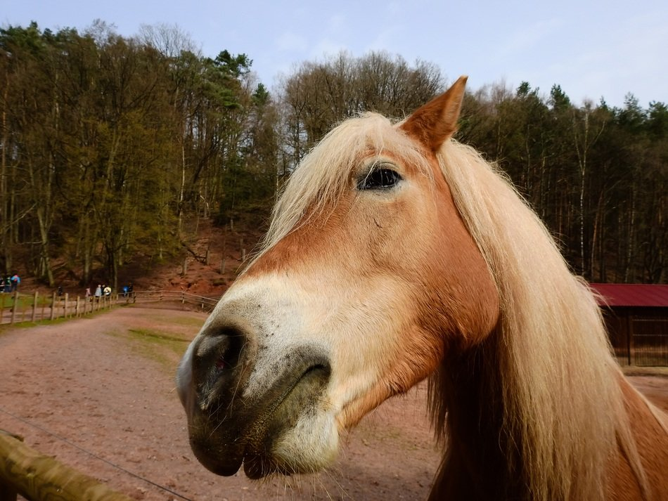 horse with a lush mane close up