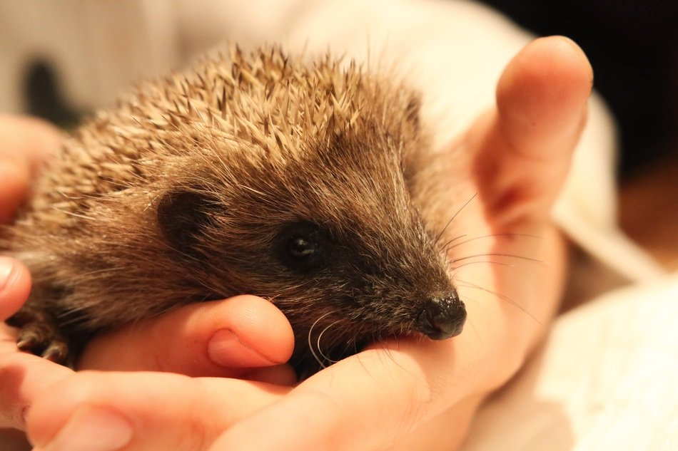 Hedgehog Breeding in hands close-up portrait