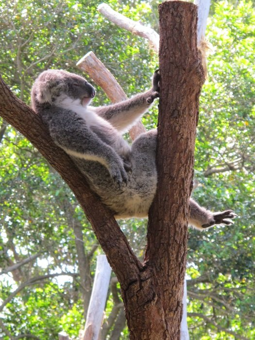 Koala resting on tree trunk