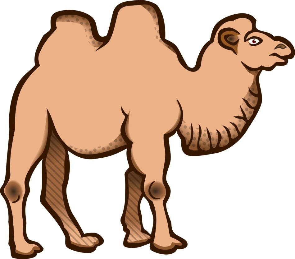 Bactrian Camel drawing