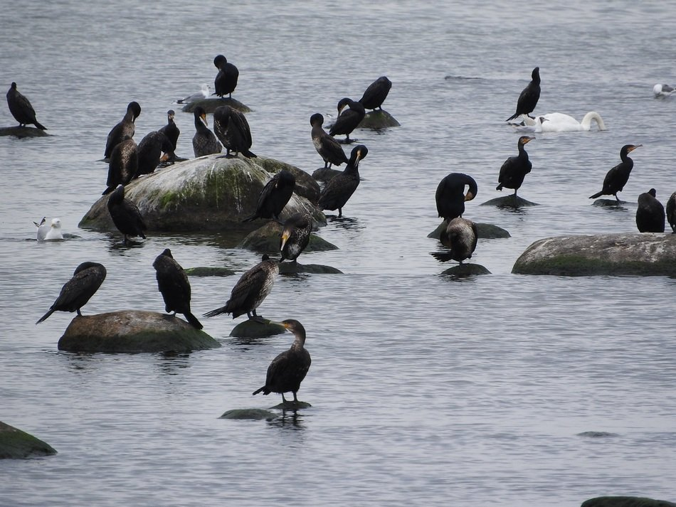cormorants on the rocks in the bay