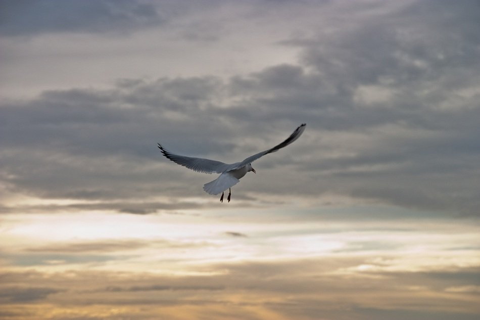 flying seagull on the evening sky