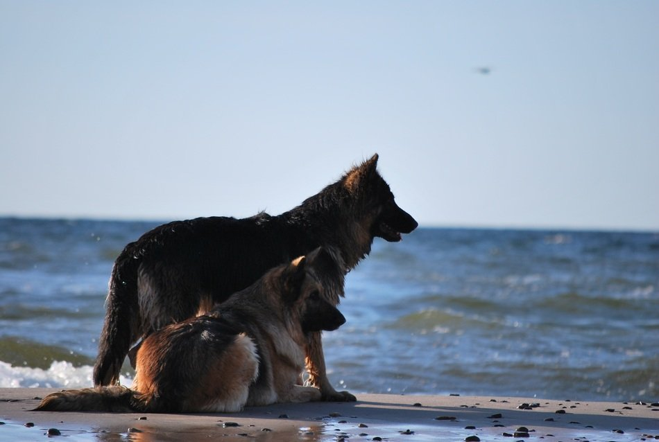 two german shepherds on the shore of the Baltic Sea